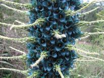 A once in a lifetime flowering plant is now in bloom in Hayle.  The town boasts a rare 'Puya' flower on King George V Memorial Walk *picture by Hayle Town Council